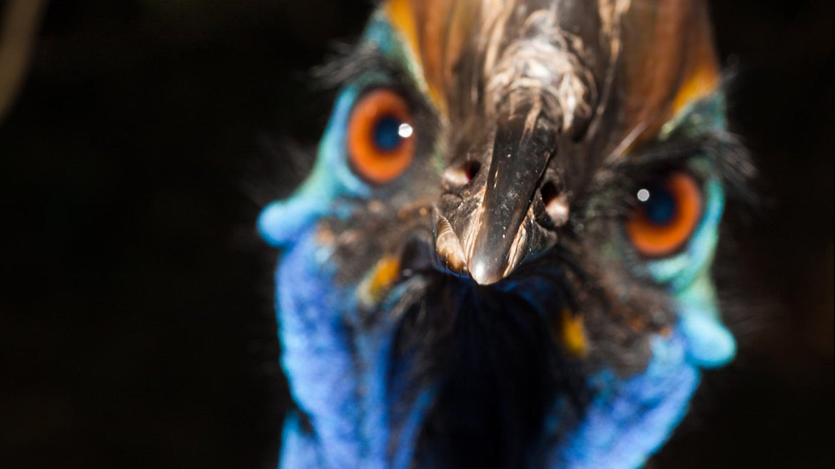A file photo of a cassowary