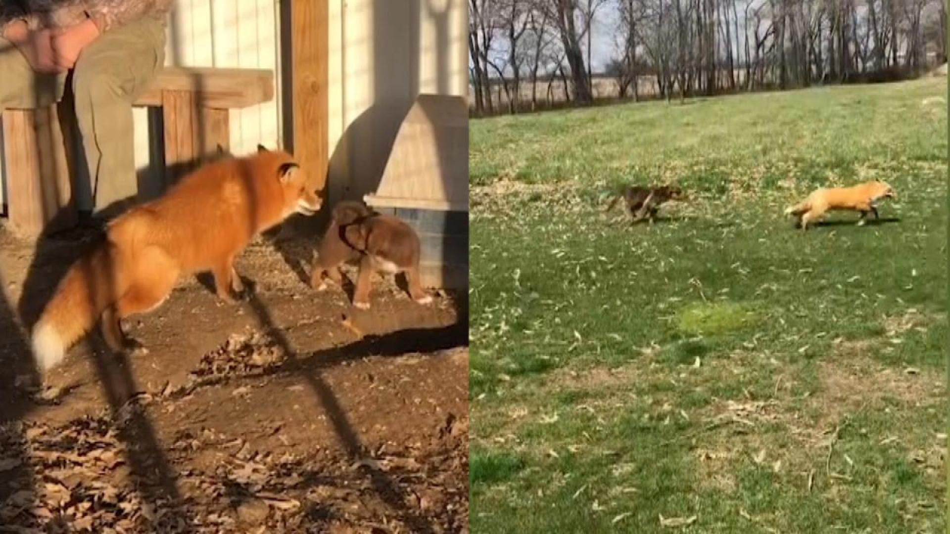 Real Life The Fox And The Hound Are Best Friends Living On