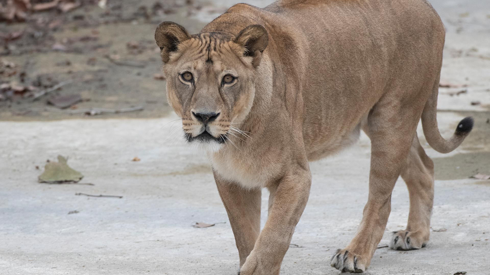 What was supposed to be a fun-filled day for a family visiting a big cat farm while on vacation became a nightmare as a lion attacked a child standing near the animal's enclosure, according to reports.