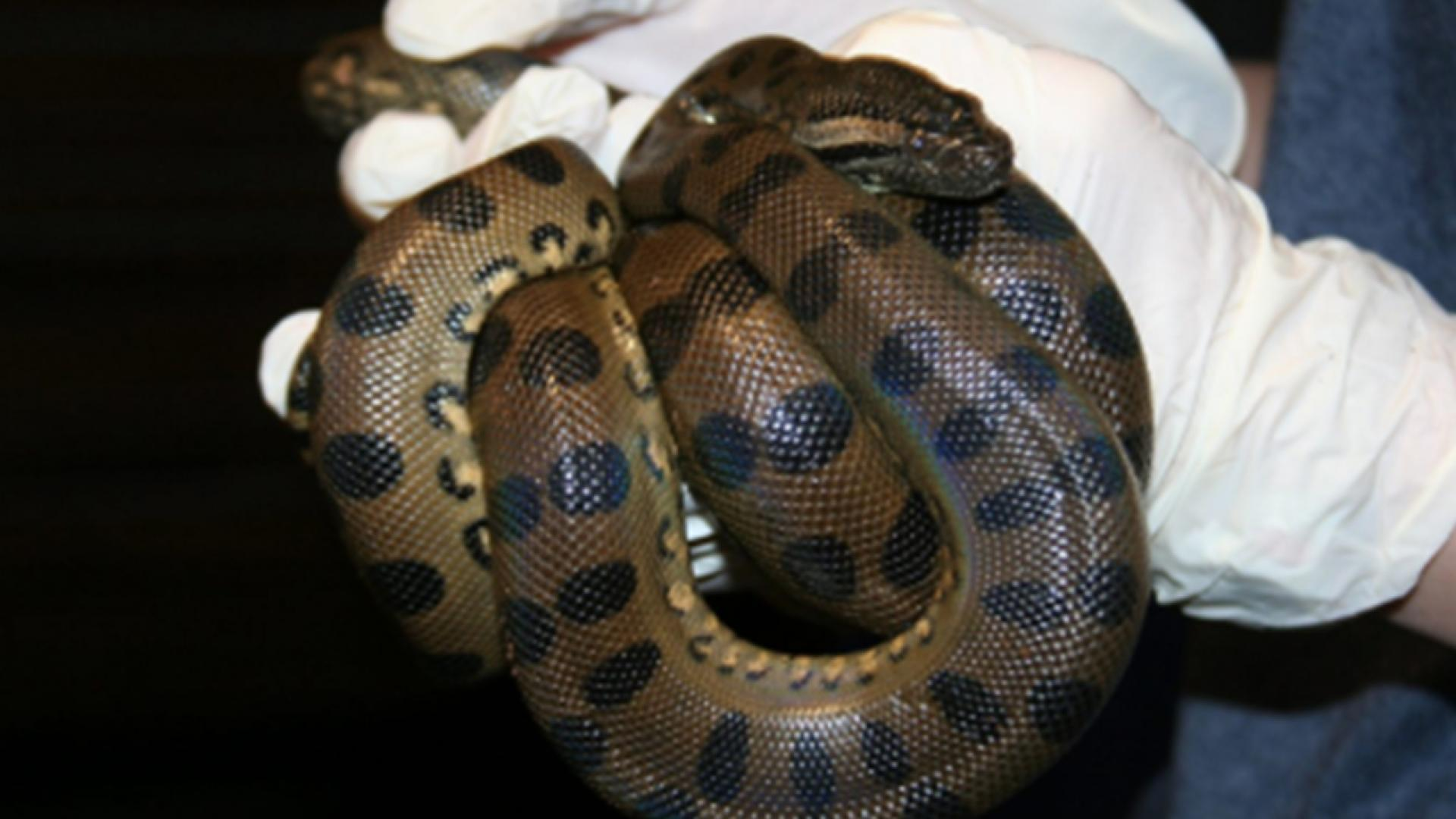 An anaconda at the New England Aquarium gave birth without a mate.