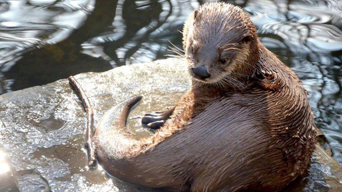 Otto the otter died at Bays Mount Park and Planetarium.