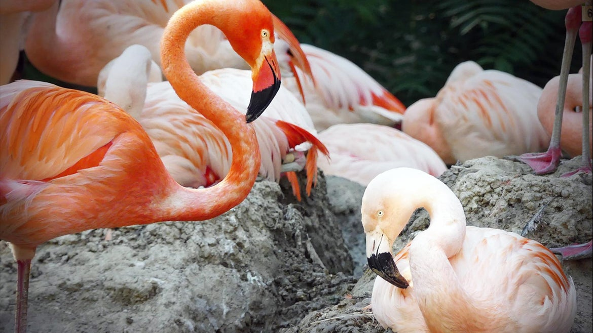 Flamingos Lance Armstrong and Freddie Mercury are happily in love at the Denver Zoo.