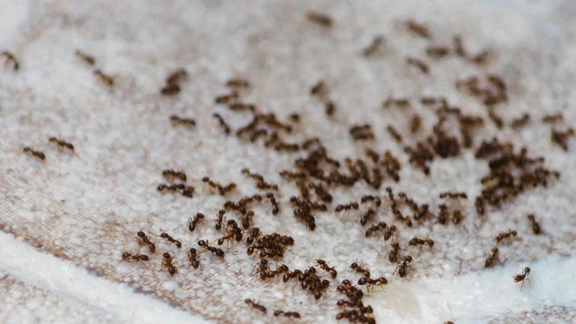 The ants were coming from a passenger's bag.