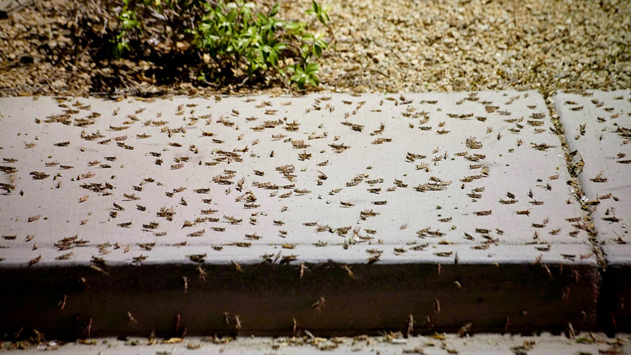 Grasshoppers have taken over Las Vegas.