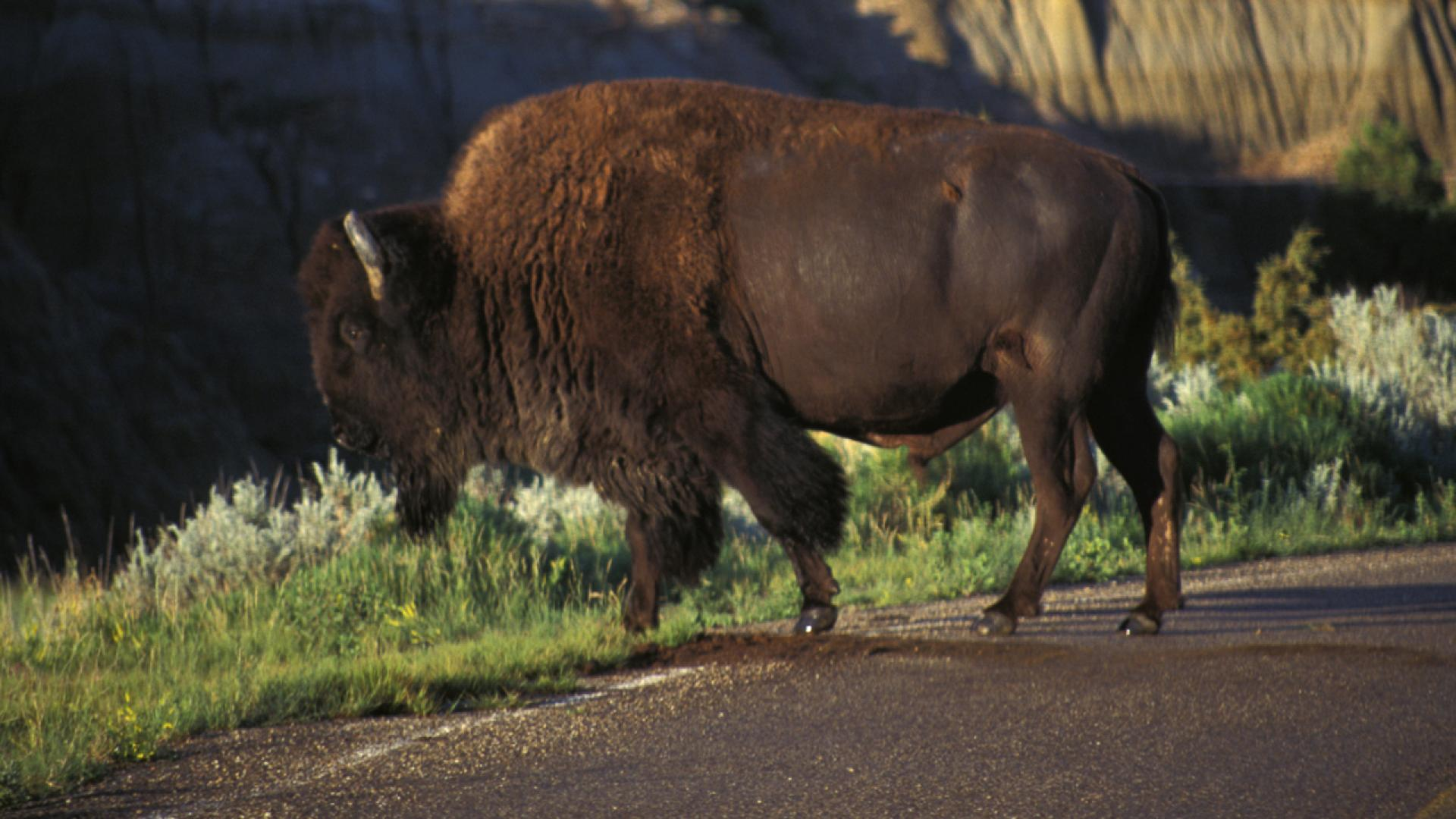 As the teen ran away, the bison struck, goring and tossing the victim inthe air.