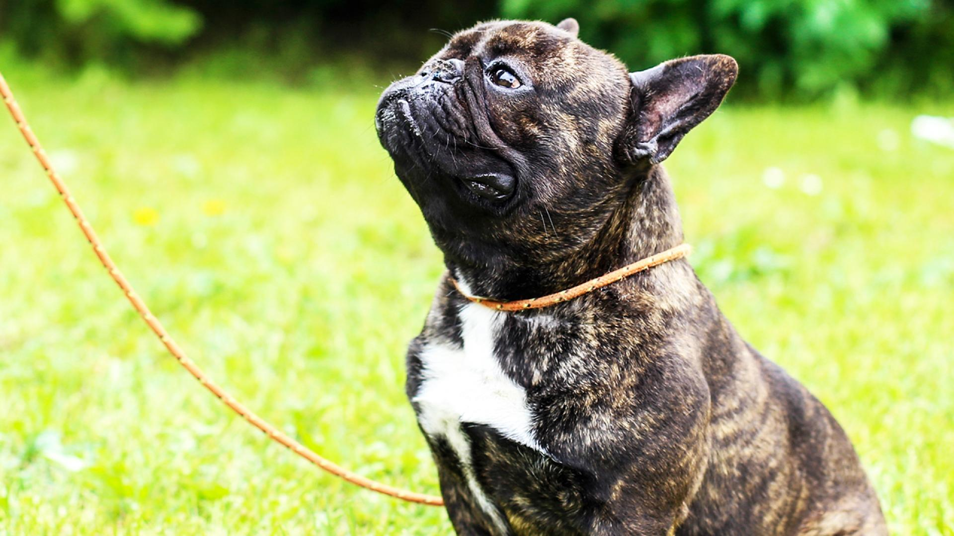 The loyal French bulldog died just 15 minutes after his owner's death.