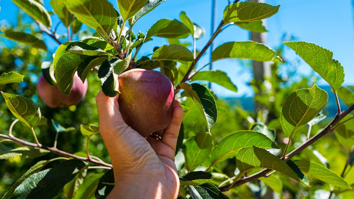 Thieves stole 50,000 apples from Williams Orchard in Indiana, the farm's owners say.