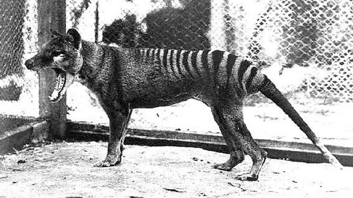 Tasmanian tiger, thought to be extinct, has been sighted in Australia.