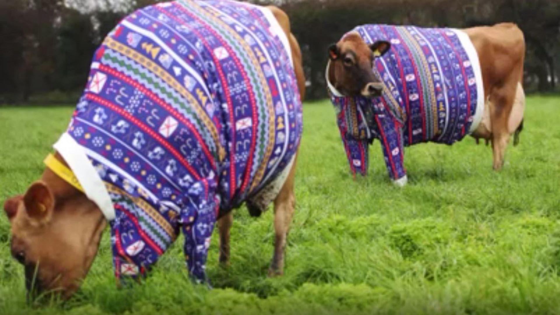 As part of an ad campaign by Visit Jersey, dairy farmer Becky Houze's cows are wearing matching Christmas sweaters.