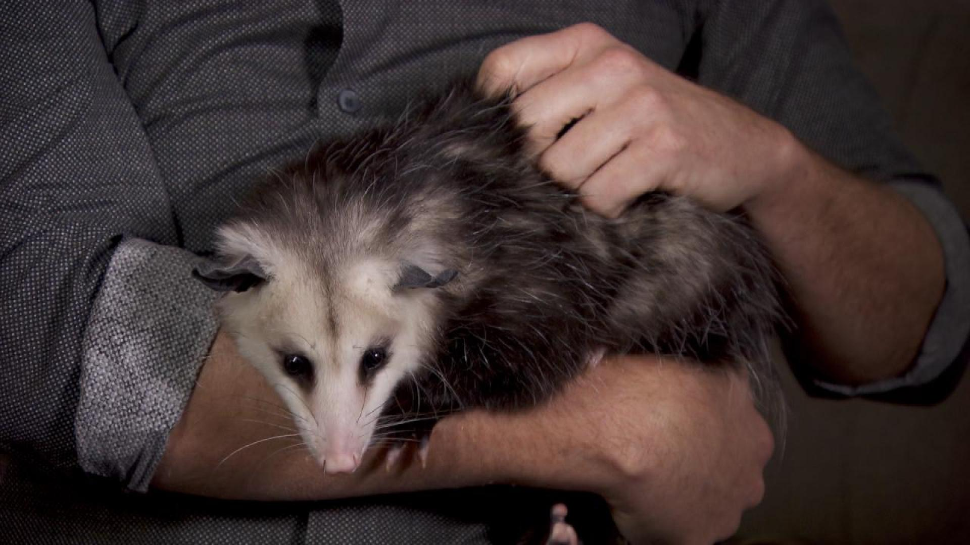 How To Get Rid Of A Possum In Your Garage passenger says air marshall wouldn't let him take pet opossum on jetblue  flight