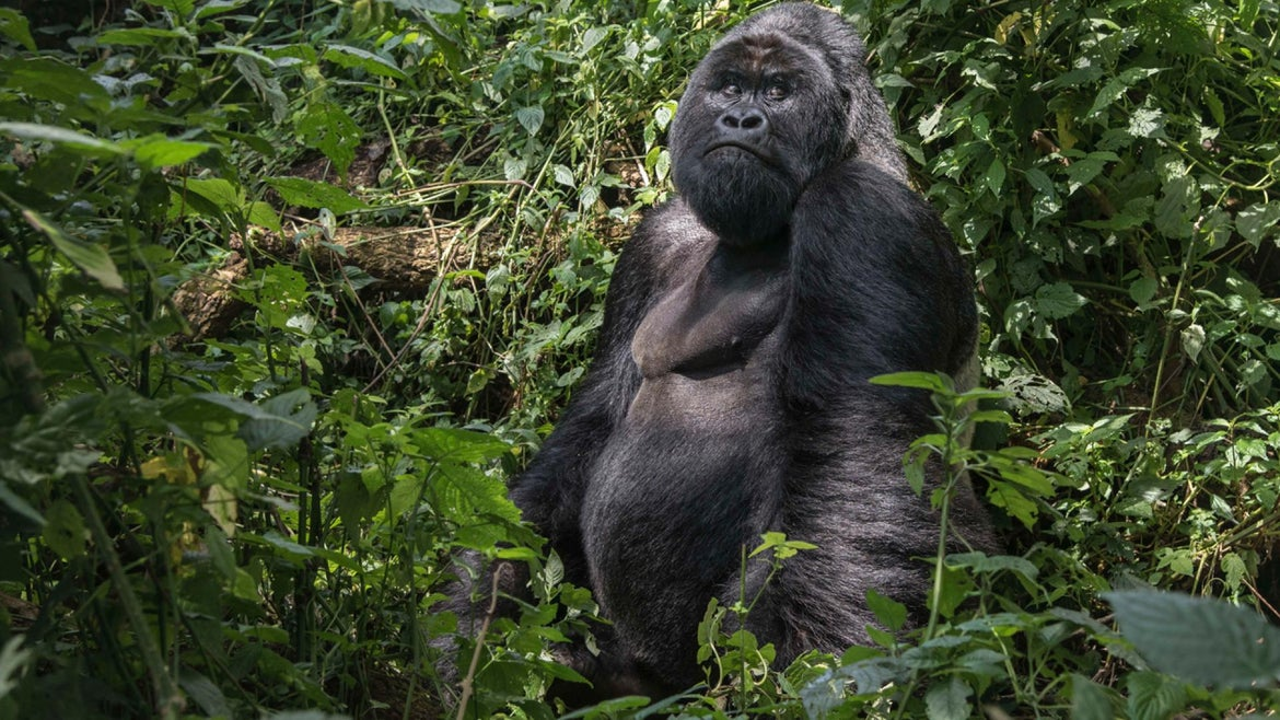 African Mountain Gorilla found in the Democratic Republic of Congo.