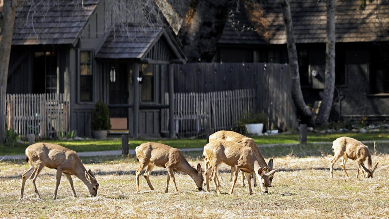 Wildlife is thriving at Yosemite National Park as it closes its doors to human visitors.