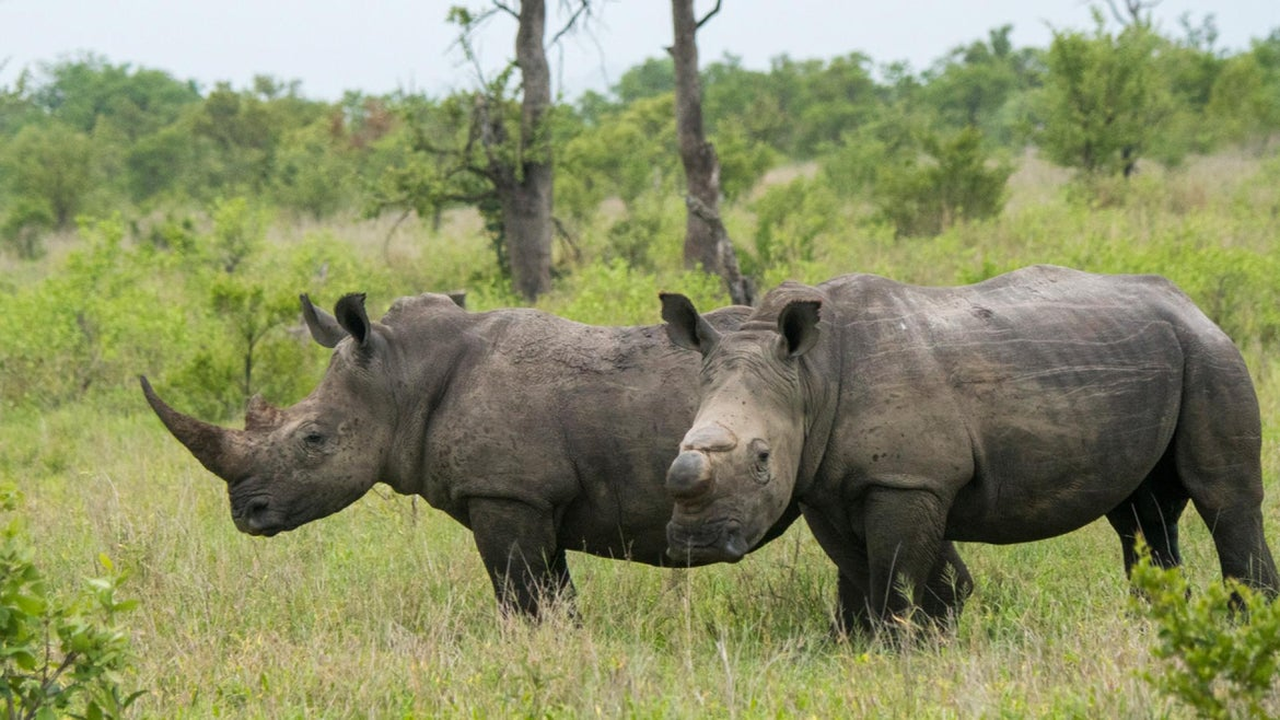 Rhinos roam freely in South Africa.