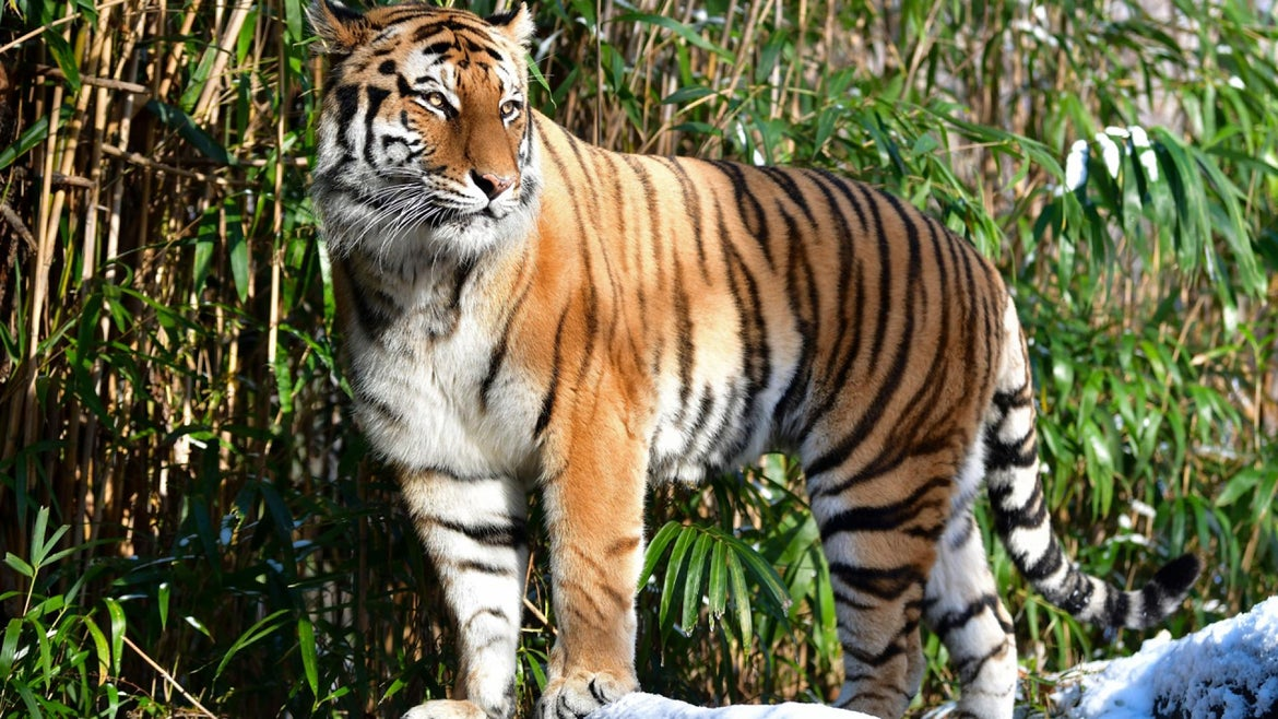 A tiger gazes into the crowd of the Bronx Zoo.
