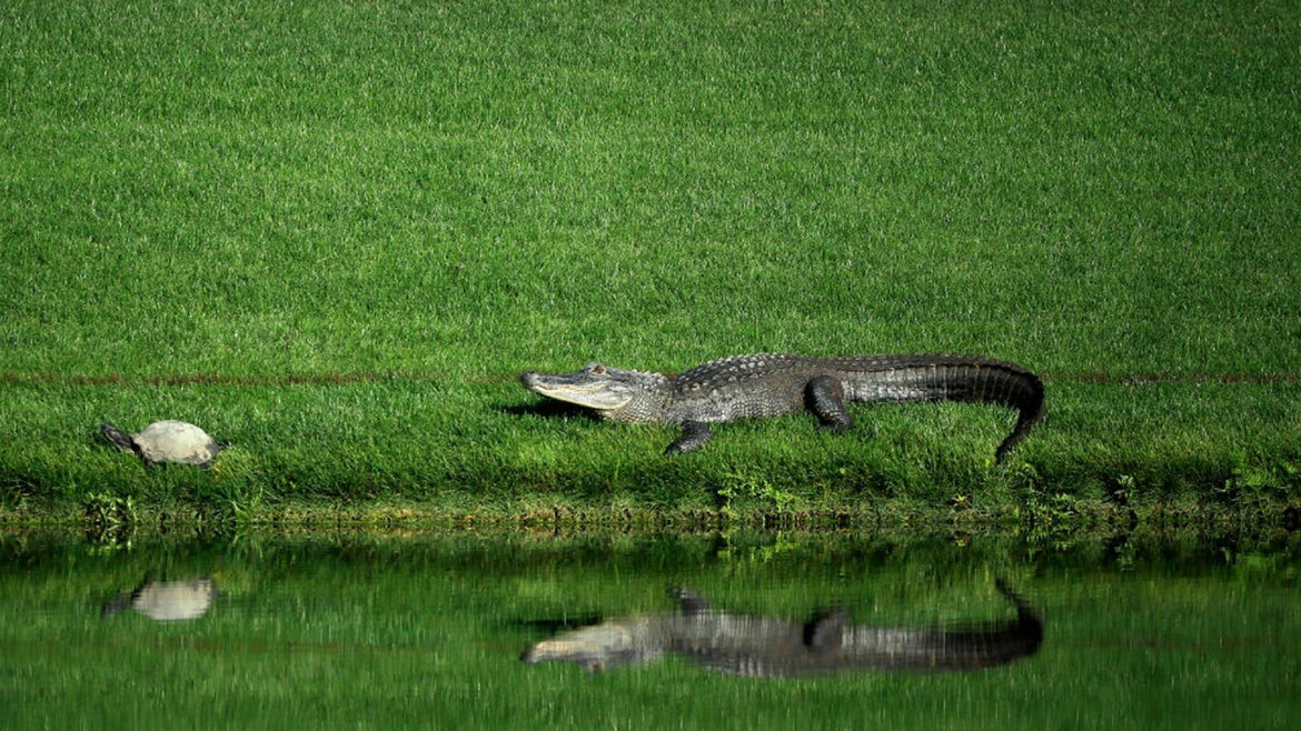 The alligator was later shot and killed.