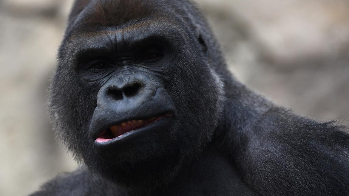 Malabo, a 29-year-old male gorilla, was separated from the zookeeper with a tranquilizer dart.