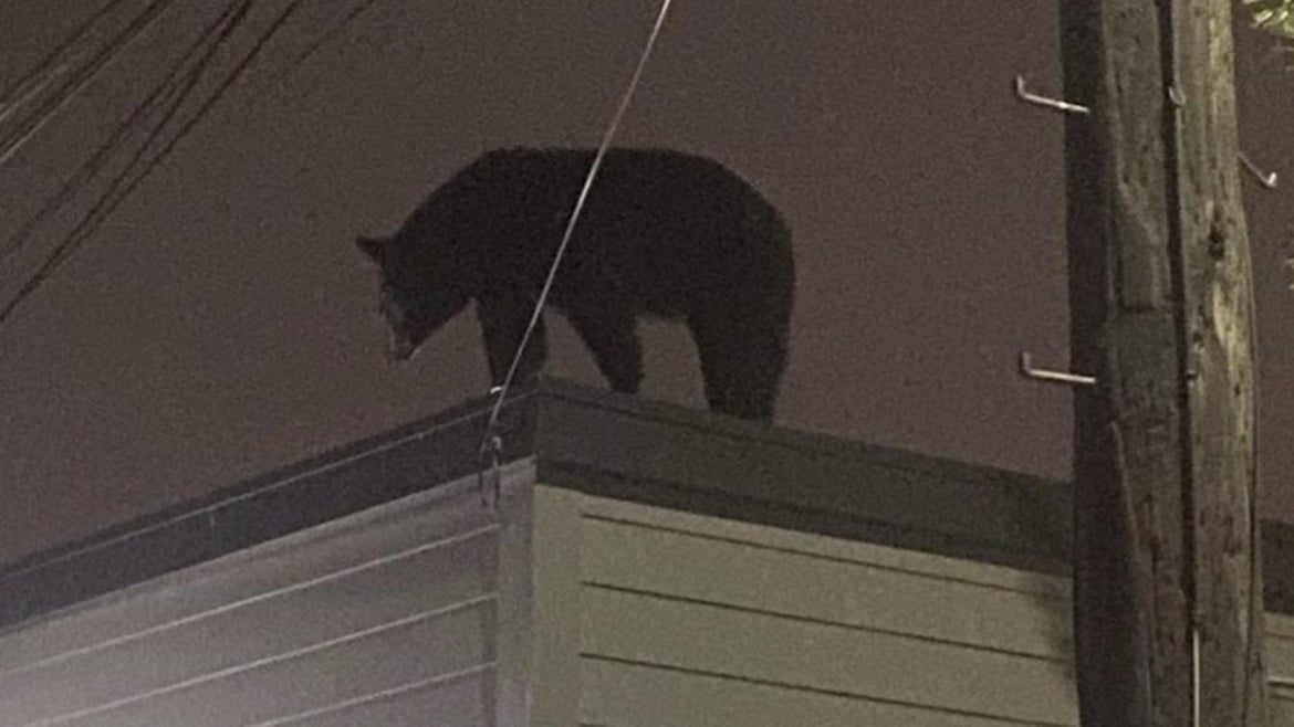 A 300-pound black bear found standing on the roof of a one-story building in Harrison, New Jersey.