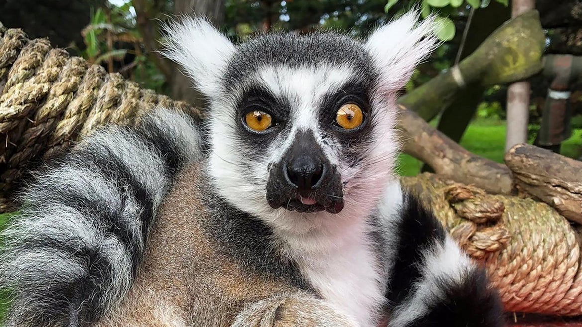 Maki, the Lemur is safely back to his habitat at the San Francisco Zoo