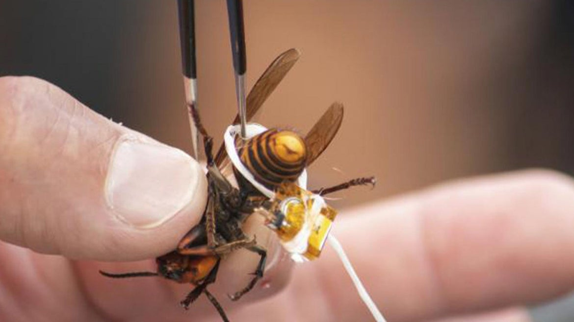 A live Asian giant hornet is affixed with tracking device using dental floss.
