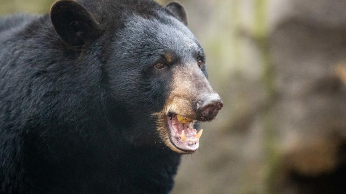 Bear sightings have been at reportedly at a five-year high in ruralareas ofwestern and northern Japan