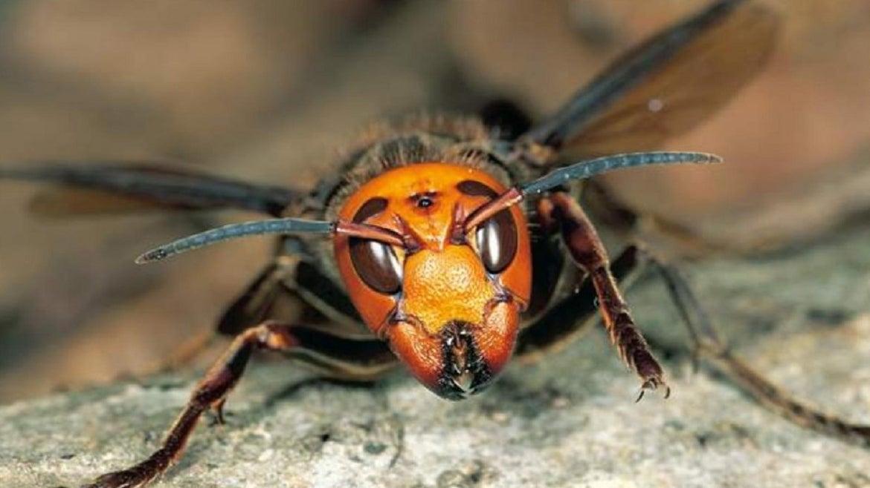 Despite destruction of huge killer hornets nest, threat remains.