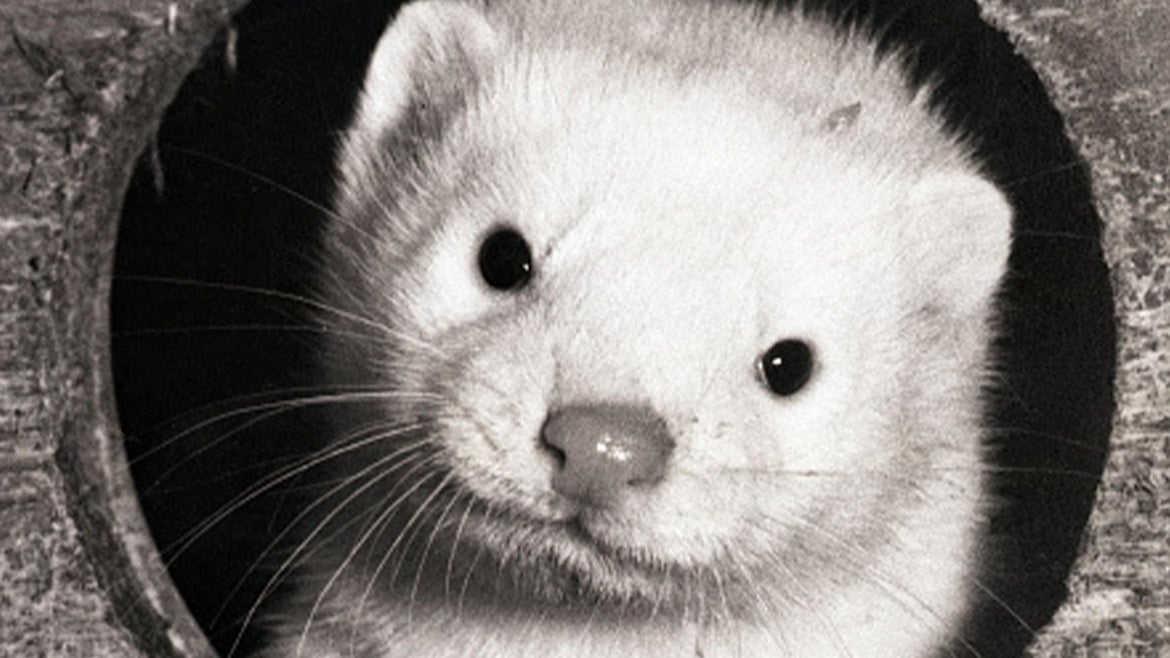Photo of a white mink.