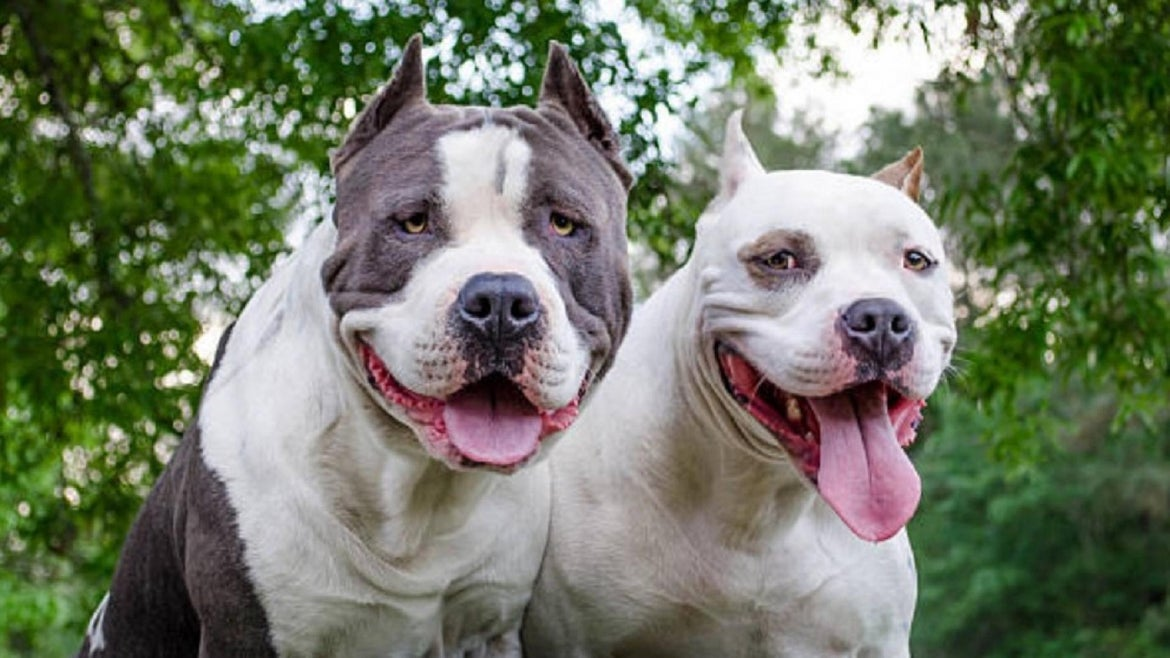 Owning a pit bull in Denver requires a permit.