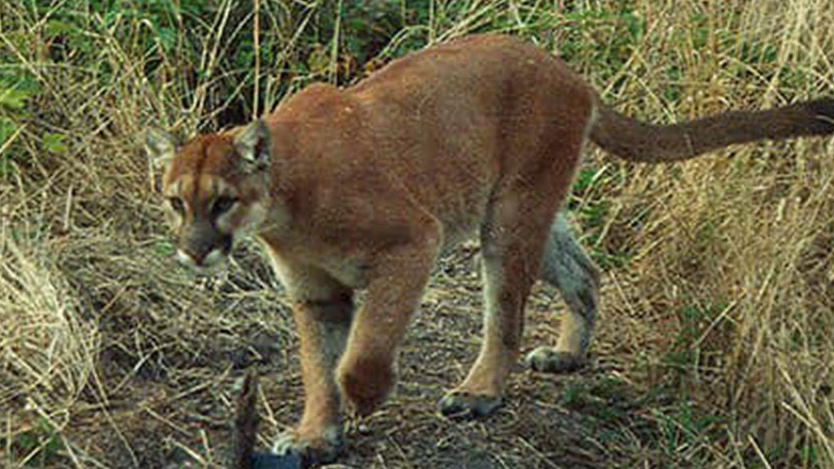 Picture of a mountain lion