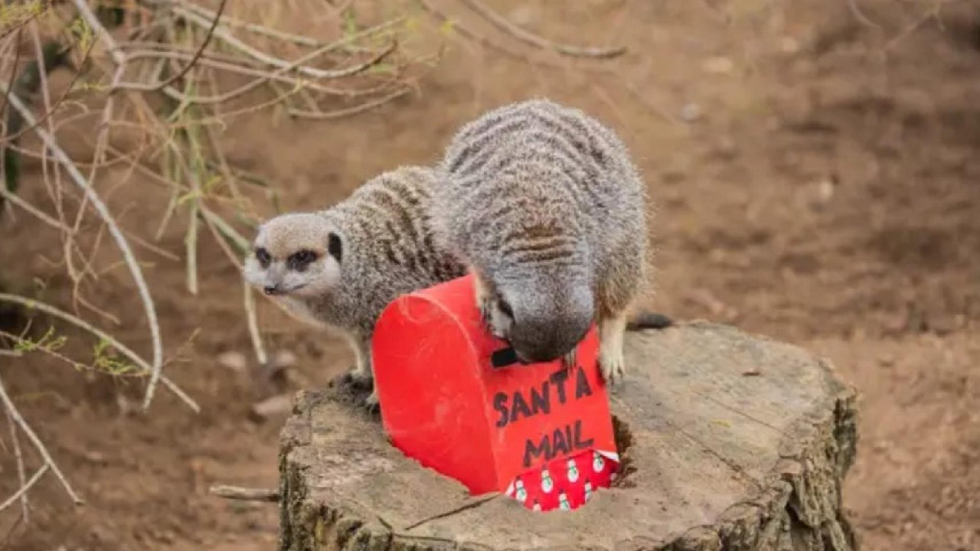 Meerkats at the London Zoo are making tiny lists for Santa.