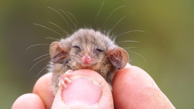 Pygmy possums have survived Australia's devastating wildfires.