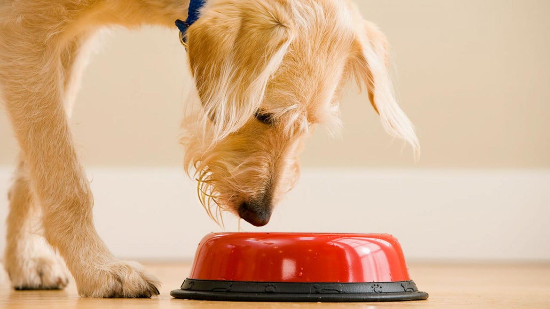 Dog looking at food in bowl.