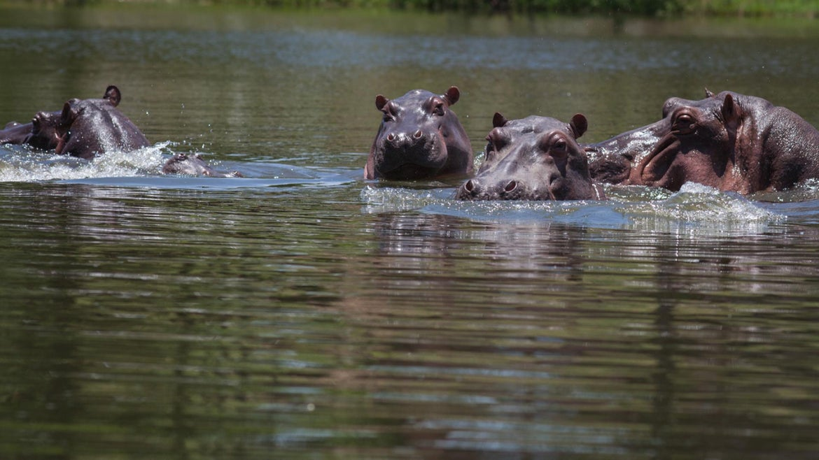 Hippos in Colombia