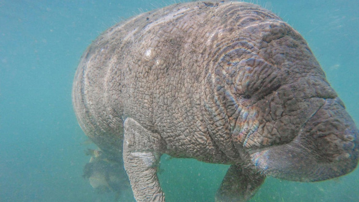 A manatee swims beside a tour boat in the Crystal River Preserve State Park on January 07, 2020