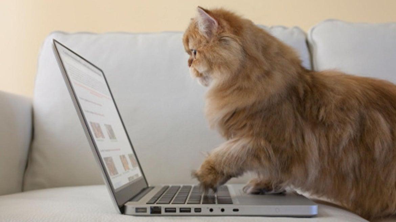 Persian cat using laptop computer.