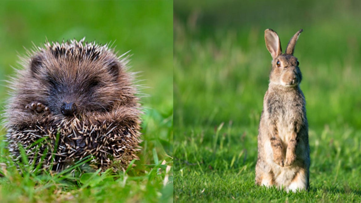 Photo of a hedgehog and a rabbit in an open field.
