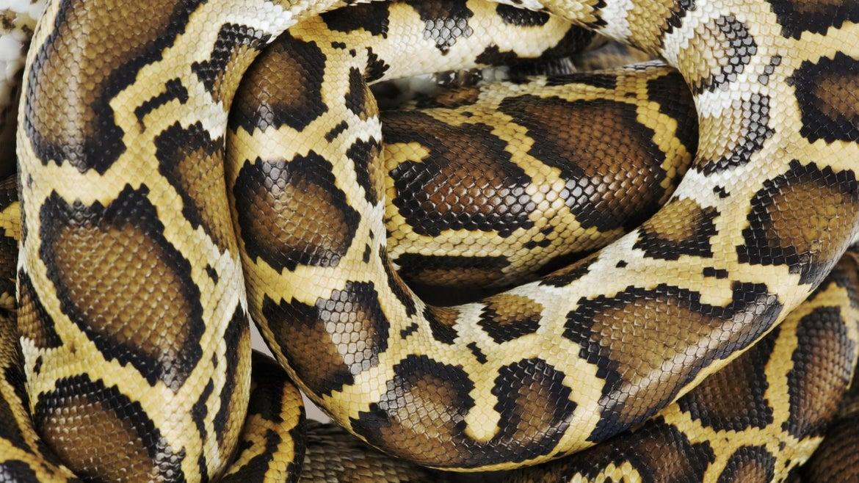 Burmese python, close up, overhead view, studio shot - stock photo.