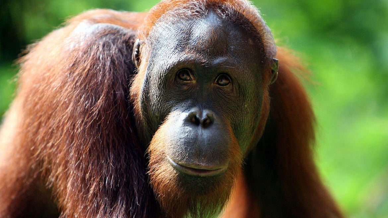 An Orangutan is seen at Ragunan Zoo's