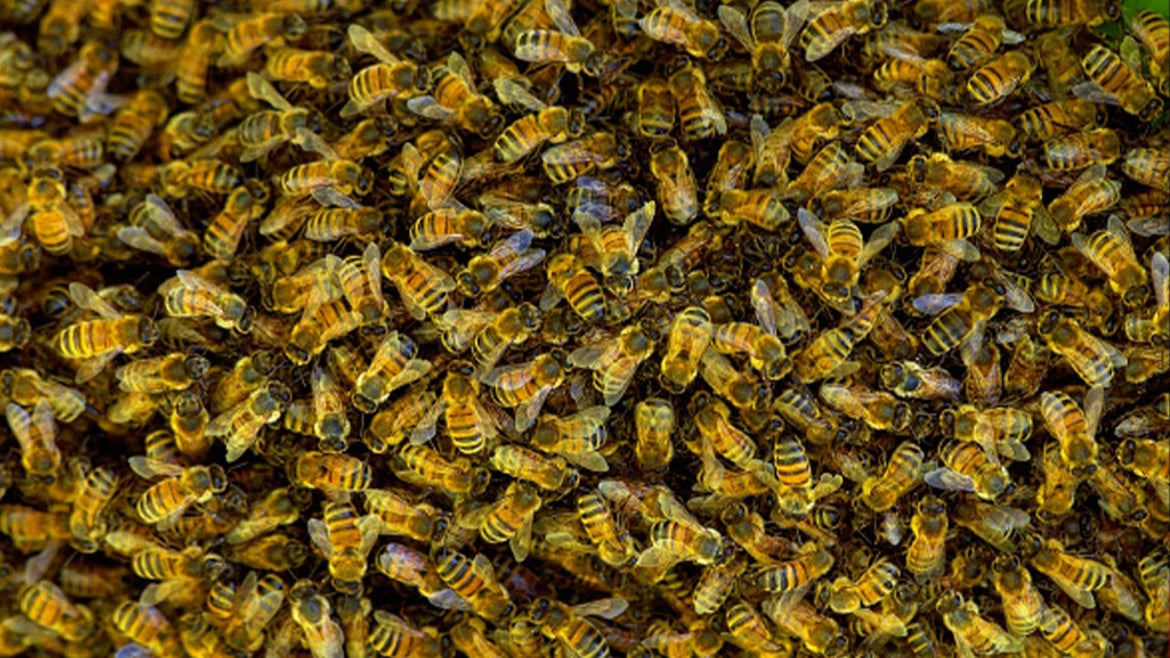 Stock image of bees.