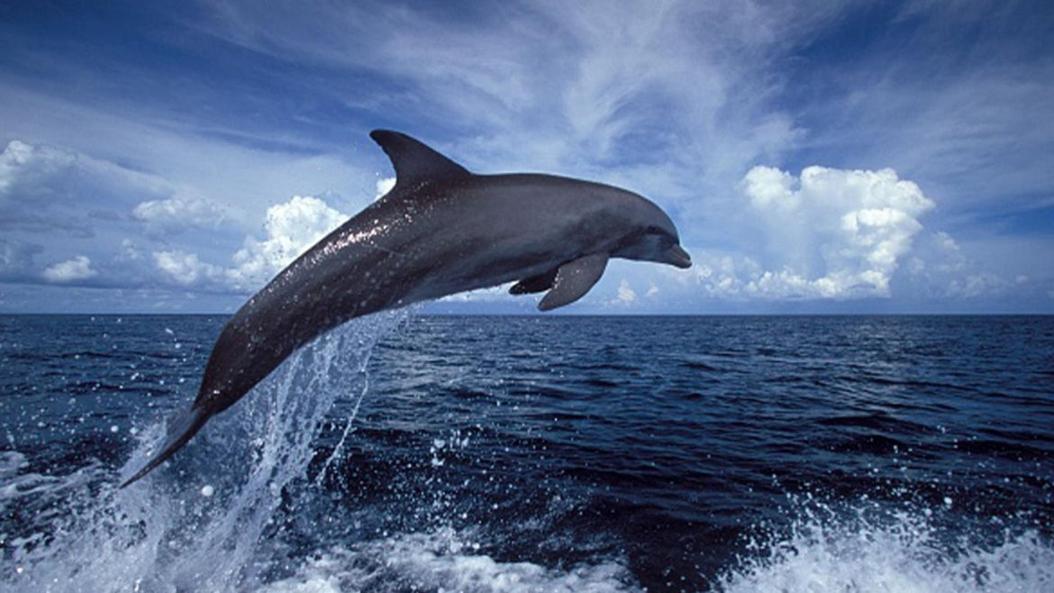 Stock image of a bottlenose dolphin.