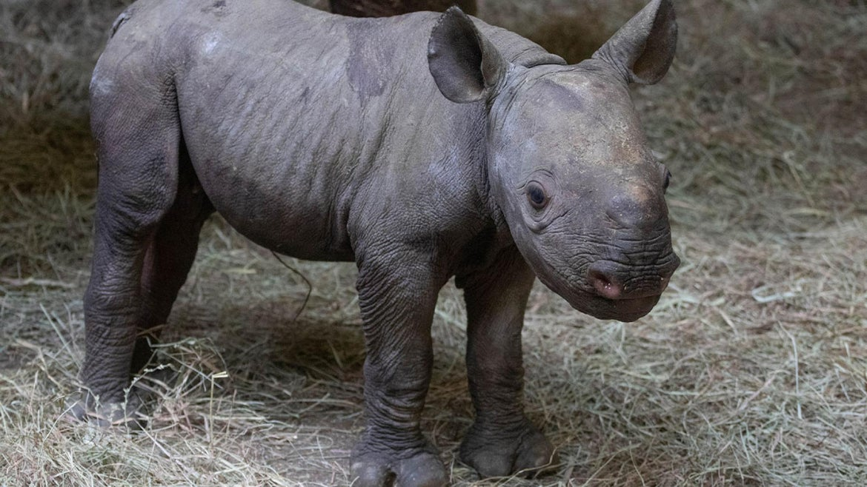 KJ, Klyde Jr., was born this week at the Sedgwick County Zoo in Kansas.