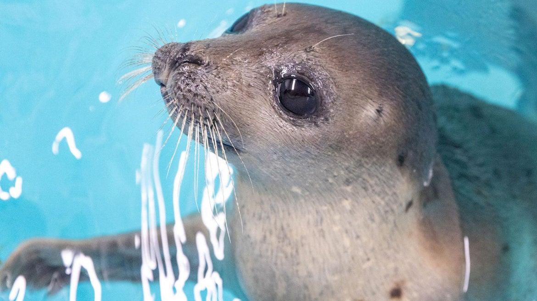 Stuart Little, juvenile harp seal loving the water.