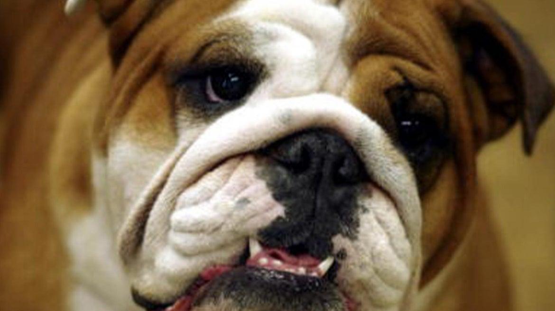 Stock image of a bulldog that looks similar to Brook's bulldog, Senor Snax.