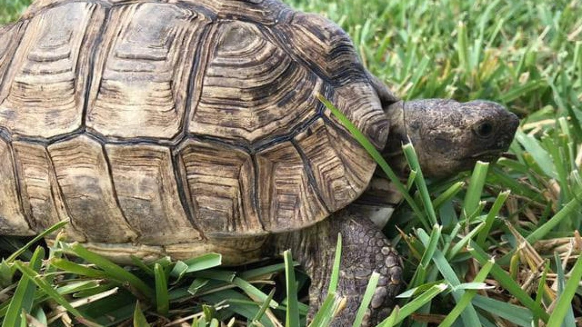 Doris, the African Leopard Tortoise, is missing after escaping from it's family's backyard in Bayridge, Brooklyn