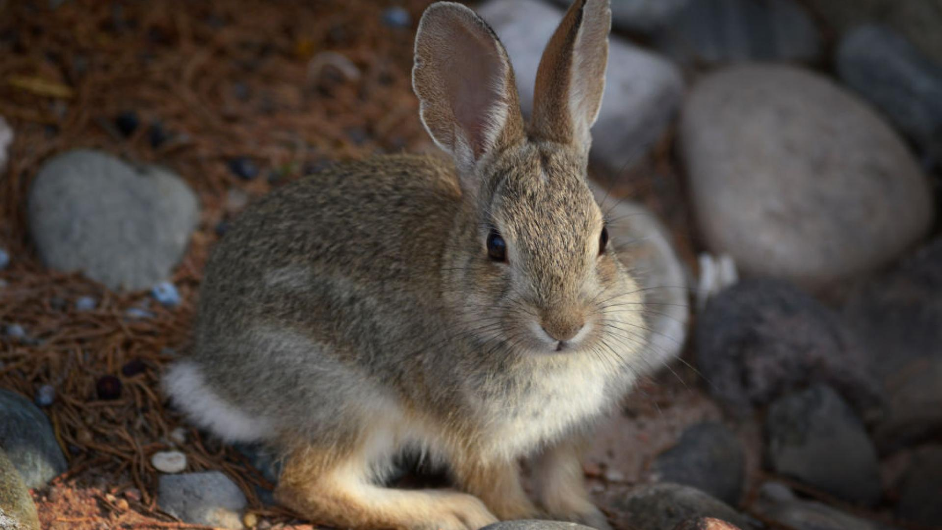 A young Desert Cottontail rabbit searches for food near Santa Fe, New Mexico.