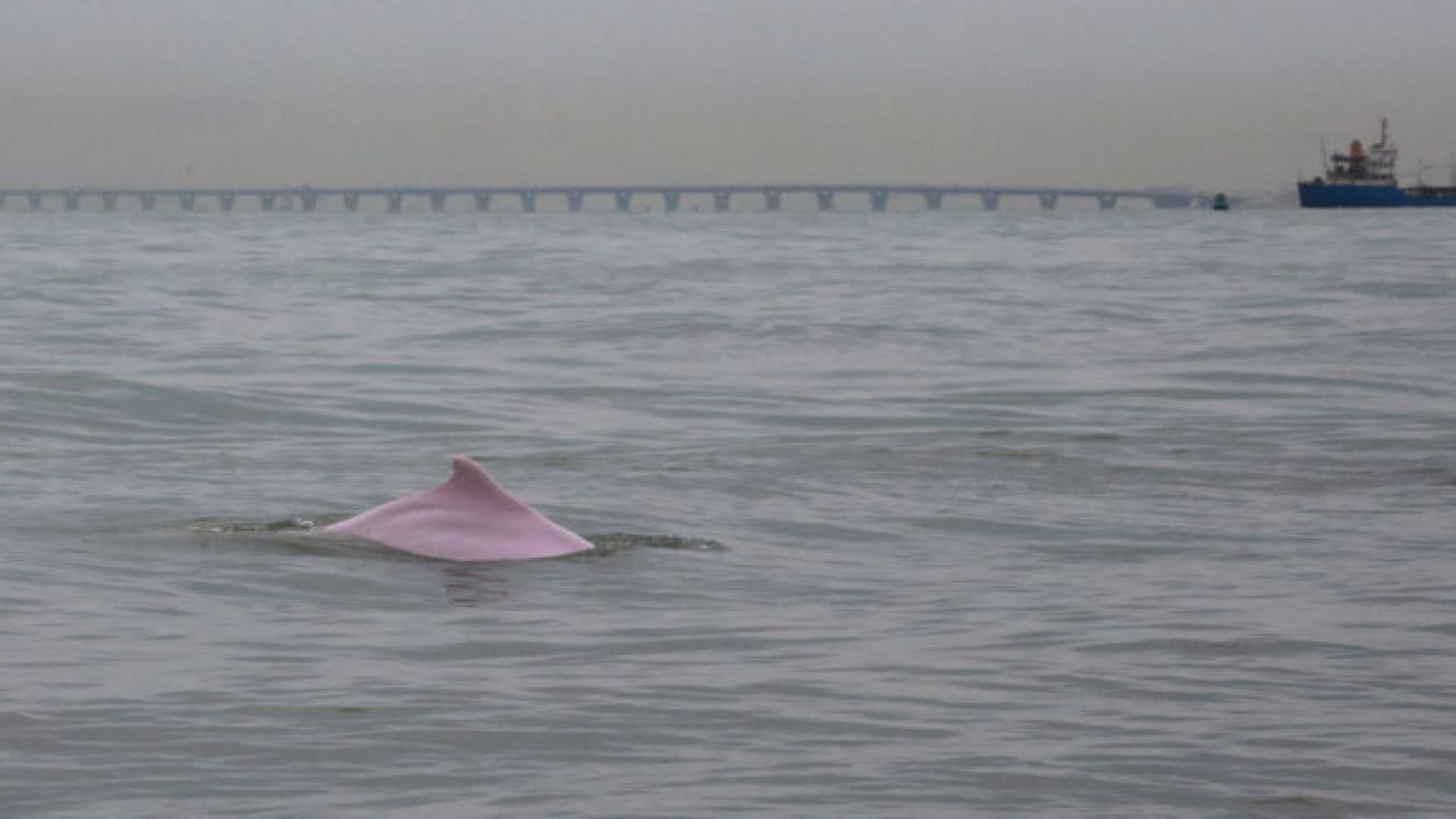 A Chinese white dolphin is seen near the water at the under construction Hong Kong-Zhuhai-Macau Bridge viewing from Lantau Island.
