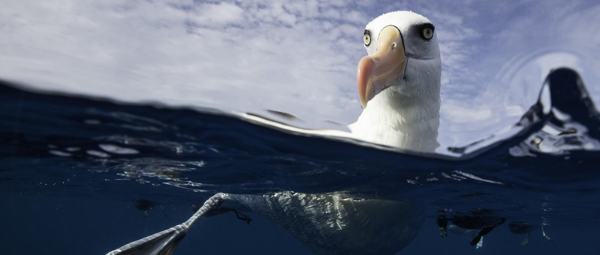 Black browed albatross floating on the water, Pacific Ocean, offshore from the North Island, New Zealand. - stock photo