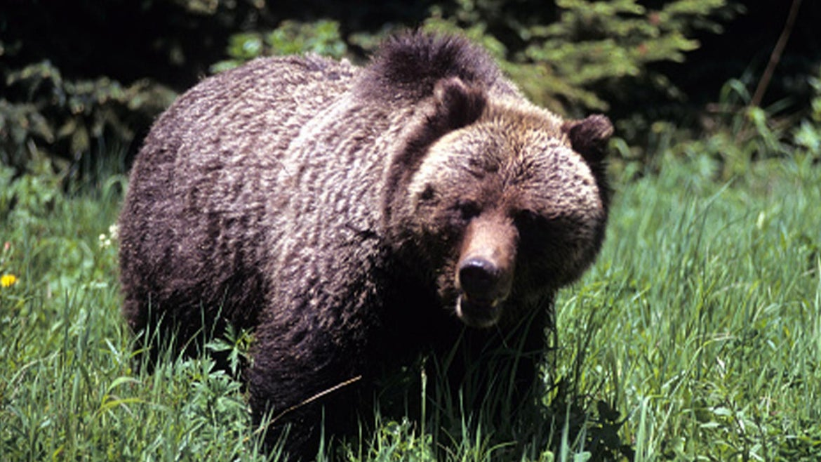 Photo of a large adult grizzly in Yellowstone National Park.