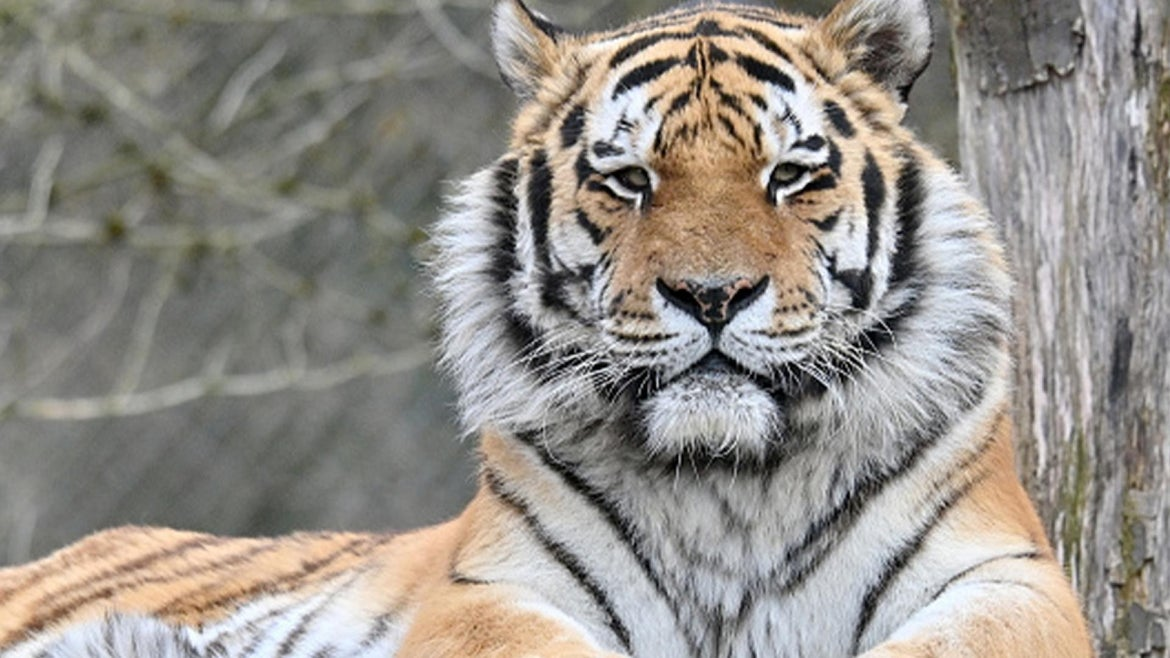 A photo of a Siberian tiger.