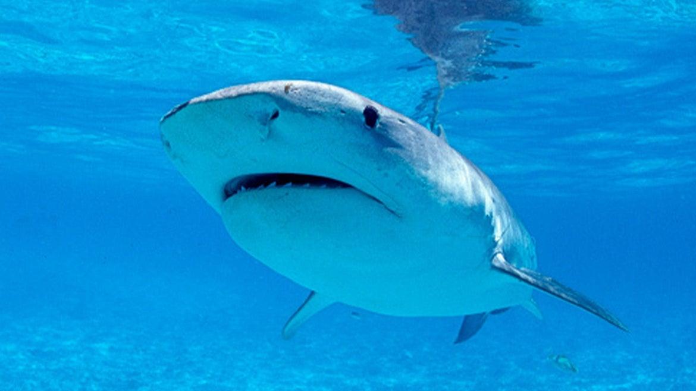 Tiger shark, Galeocerdo cuvieri, Hawaii