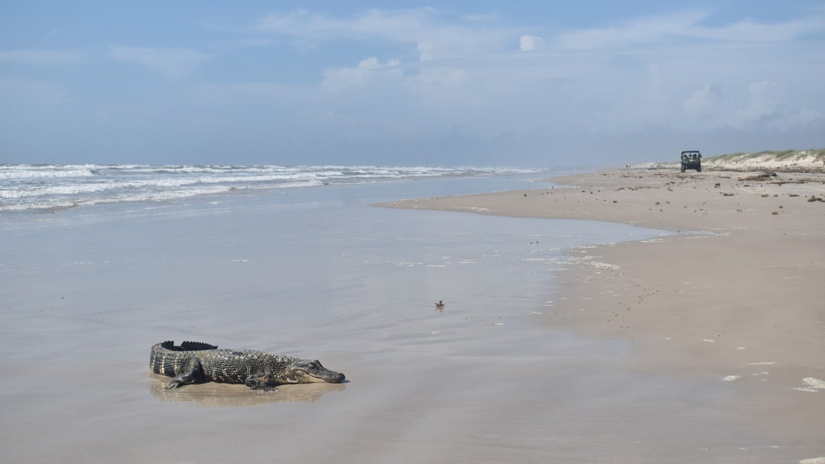 Small, American alligator on the beach of South Texas